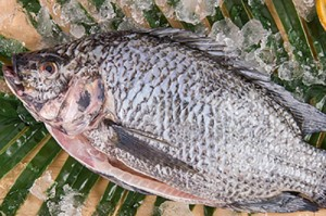 Tilapia whole